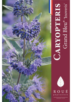Caryopteris 'Inoveris' Grand bleu ®'