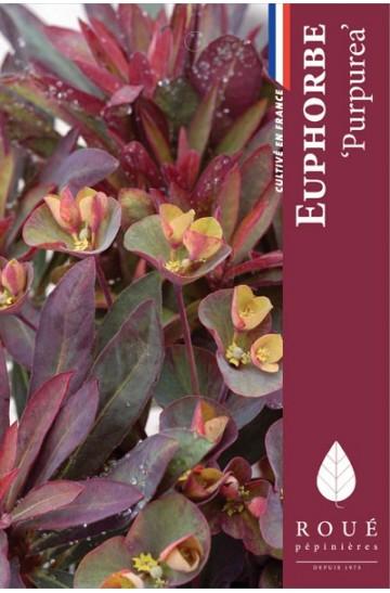 Euphorbe 'Purpurea'