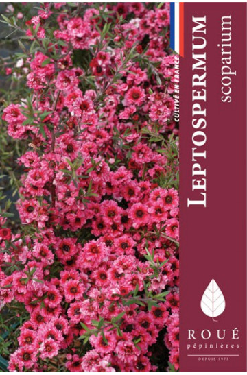 Leptospermum 'Winter Cheer'