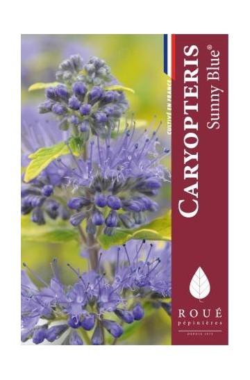 Caryopteris 'Sunny Blue ®'
