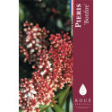 Pieris 'Bonfire'