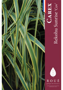 Carex 'Rekohu Sunrise'