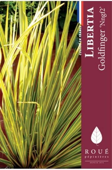 Libertia 'Goldfingers'