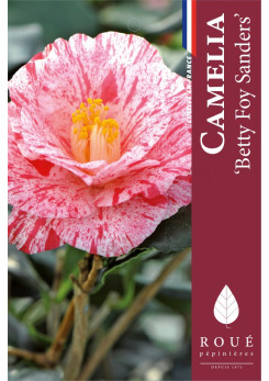 Camelia 'Betty Foy Sanders'