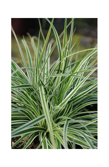 Carex 'Everest'