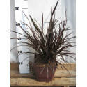 Phormium 'Back In Black®'