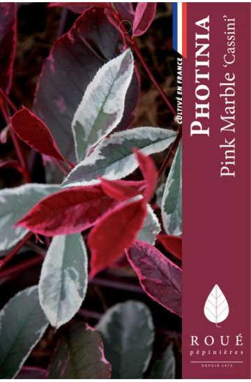 Photinia 'Pink Marble'