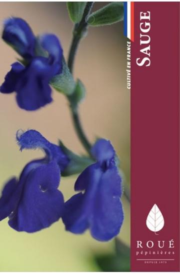 Sauge - Salvia 'Purple queen'
