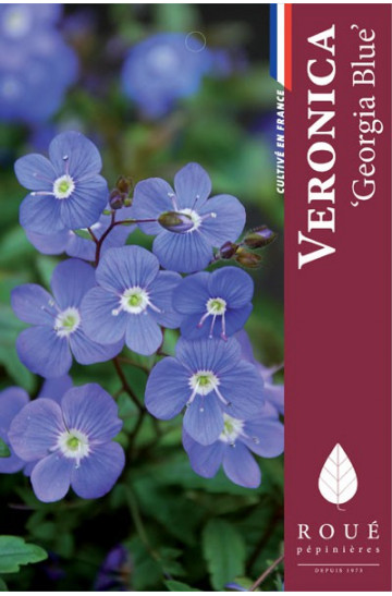 Veronica 'Georgia Blue'