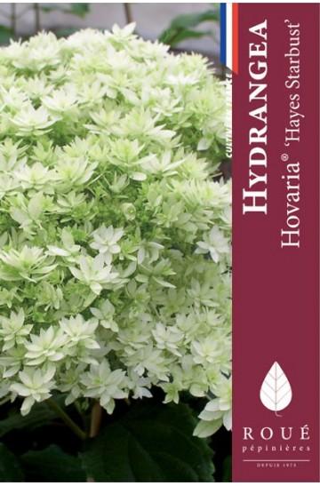 Hortensia arborescens 'Hovaria® Hayes Starburst'