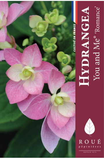 Hortensia macrophylla 'Romance'