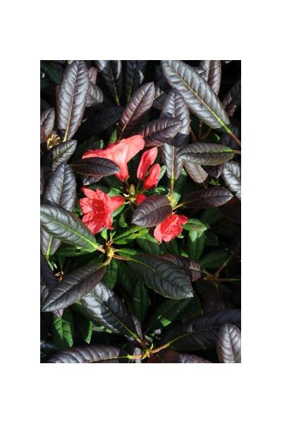 Rhododendron 'Elizabeth' pourpre