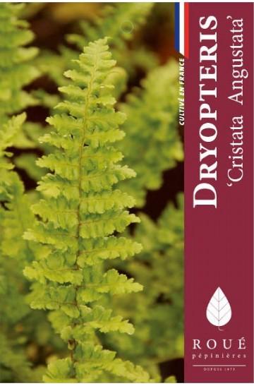 Dryopteris 'Cristata Angustata'