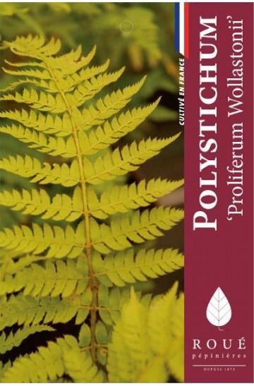 Polystichum 'Proliferum Wollastonii'