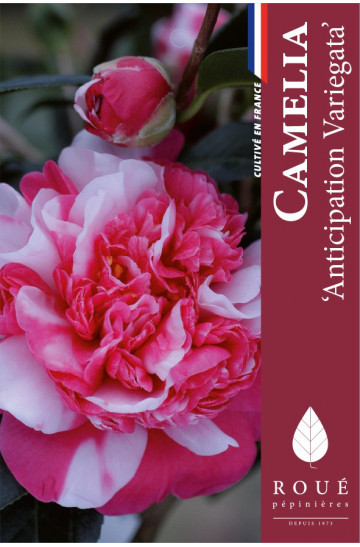 Camelia 'Anticipation Variegata'