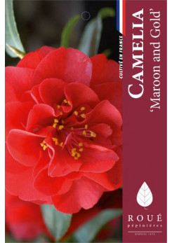 Camelia 'Maroon and Gold'
