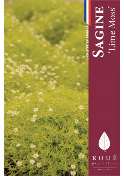 Sagine 'Lime Moss®'