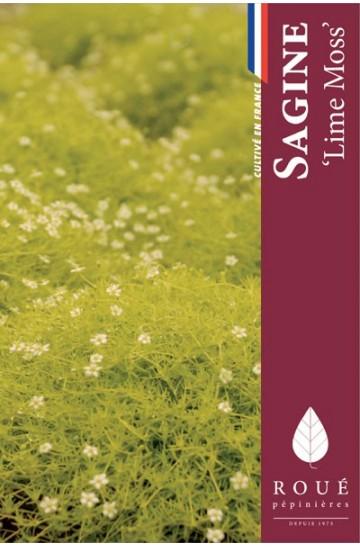 sagine-subulata-lime-moss-rouepepinieres