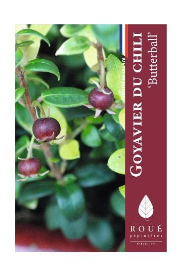 Myrtus 'Butterball'