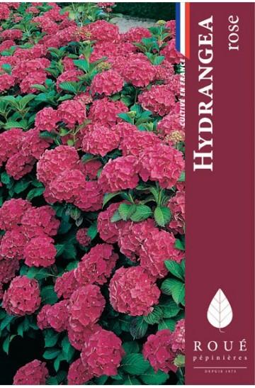Hortensia macrophylla 'Rosita'