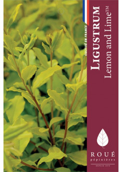 Ligustrum 'Lemon and Lime'