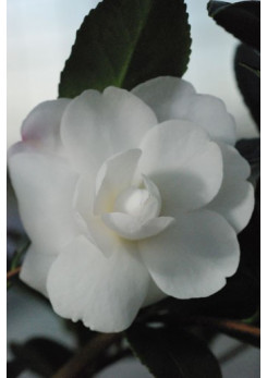 Camelia sasanqua 'Early Pearly'
