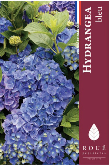 Hortensia macrophylla 'Blauer Zwerg'