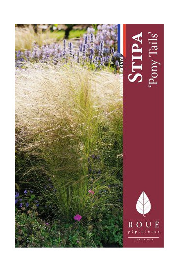 Stipa 'Pony Tails' (cheveux d'ange)