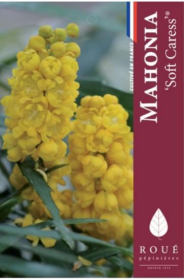 Mahonia 'Soft Caress ® '