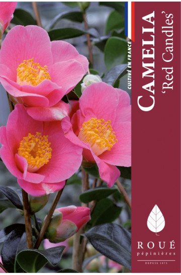 Camelia 'Red Candles'