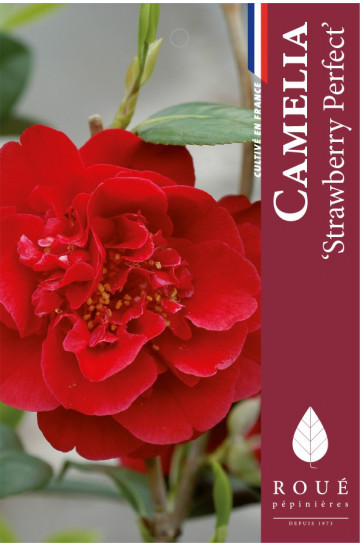 Camelia 'Strawberry perfect'
