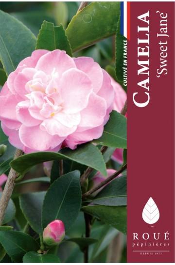 Camelia 'Sweet Jane '