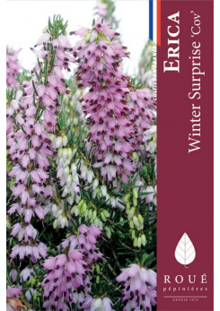 Erica darleyensis 'Winter Surprise'
