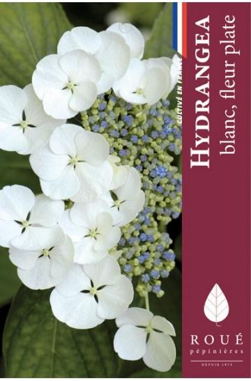 Hortensia macrophylla 'Lanarth white'