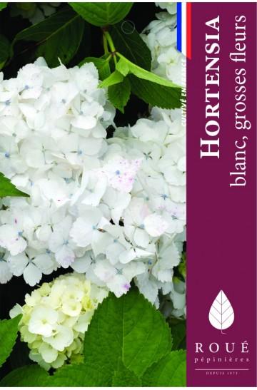 Hortensia macrophylla 'Soeur Thérèse'