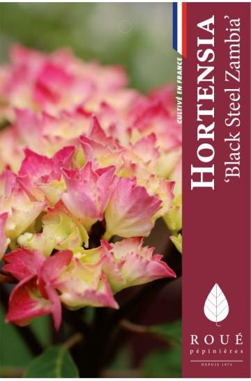 Hortensia Blacksteel Zambia®