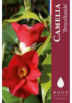 Camelia 'Brocéliande '