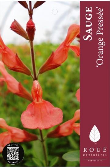Sauge - Salvia 'Orange Pressée'