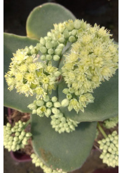 Sedum 'Green Yellow'