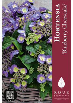 Hortensia x 'Blueberry Cheesecake'