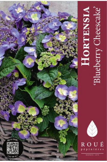 Hortensia 'Blueberry Cheesecake'