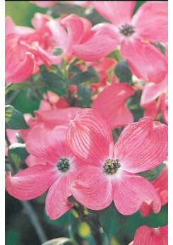 Cornus florida 'Cherokee Chief'