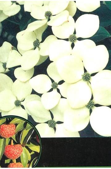 Cornus kousa 'Schmetterling'