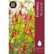 Fuchsia 'Ricartonii'