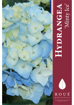 Hortensia Magical® Minty Ice