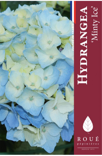 Hortensia macrophylla Magical® 'Minty Ice'