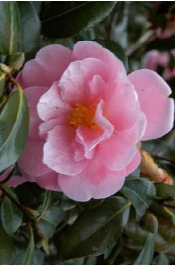 Camelia 'Pink icicle'