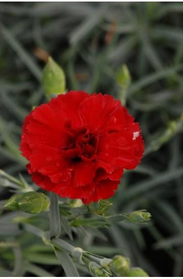 Oeillet - Dianthus plumarius 'Houndspool Cheryl'