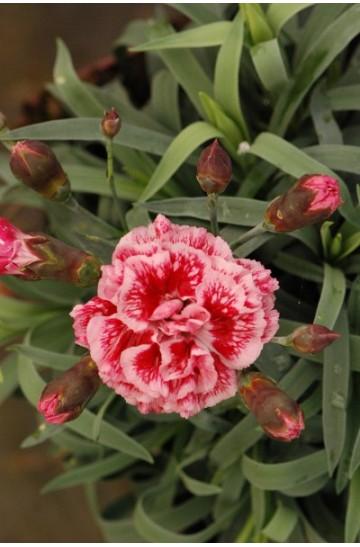 Oeillet - Dianthus Scent First® 'Sugar Plum'