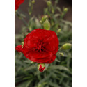 Oeillet - Dianthus Scent First® 'Passion'